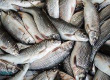 ۳۳ درصد تولید ماهیان گرمابی کشور به خوزستان اختصاص دارد